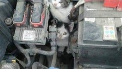 Keeping Rats and Stray Cats Away From Your Car Engine 1